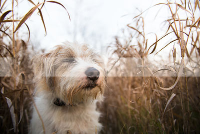 small terrier dog with eyes closed meditating in tall dried grasses