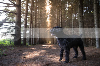 black curly hair cross breed dog standing in pine forest