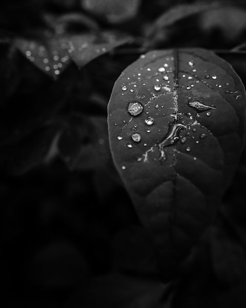 Rain drops on leaf, Bowman's Hill, New Jersey