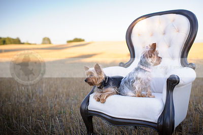 two little groomed yorkie dogs on chair in wheatfield