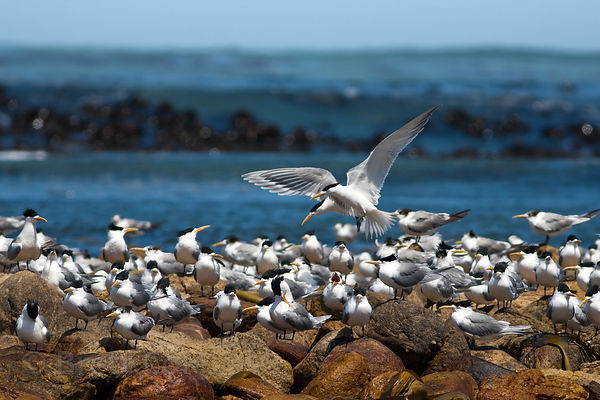 Terns (sp.), Olifantsbos, Cape Peninsula, South Africa