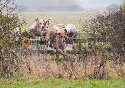 The Cottesmore hounds