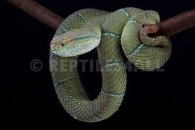 North Philippine temple pitviper (Tropidolaemus subannulatus)