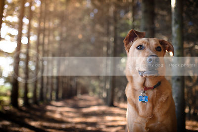 expressive tan dog with lip in tunnel of pine trees