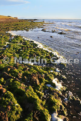 Evening sunlight on Pebble Island shore, West Falkland, with seaweed and spume