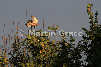 Common Kestrel (Falco tinnunculus tinnunculus) flying by bare branches of an Ash Dieback-affected tree (Fraxinus excelsior) w...
