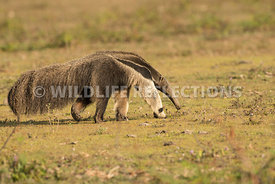 giant_anteater_walking-43
