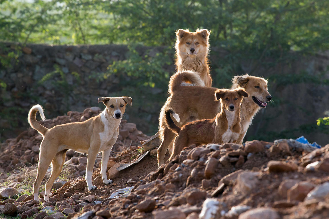 Street dog pack in early morning light near remote Padampura village, Rajasthan, India