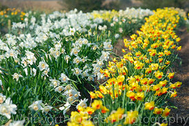 Field of Narcissus varieties including: Narcissus 'Balvinie' and N. 'Bantam'. © Rob Whitworth