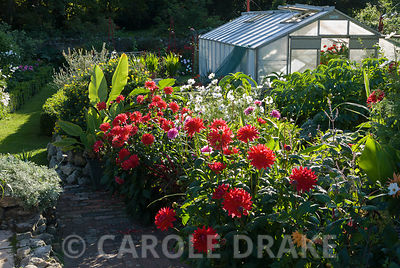Lush border full of red dahlias, white cosmos, Melianthus major and bananas with greenhouse behind. The Shute, nr Ventnor, Is...