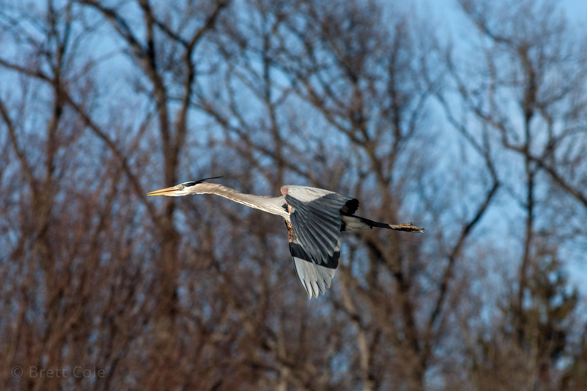 Great Blue Heron (Ardea herodias) flying near its nest, Lake Whetstone, Montgomery Village, Maryland