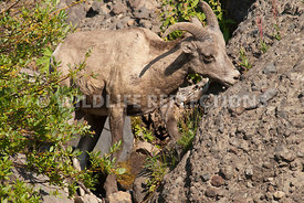 bighorn_ewe_eating_plants_from_a_boulder