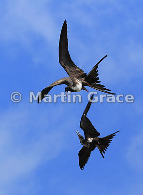 Magnificent Frigatebird female (Fregata magnificens) harries a juvenile male Great Frigatebird (Fregata minor ridgwayi), Cerr...