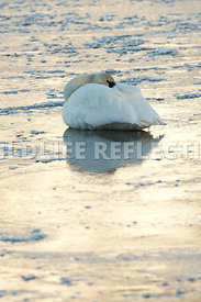 trumpeter_swan_resting_ice20120101_0002
