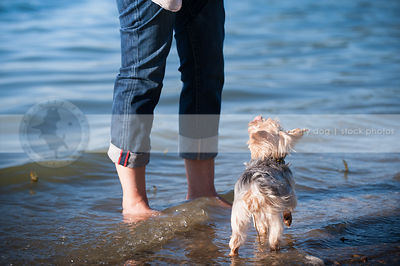 little dog looking skyward standing in water at lake shore with owner
