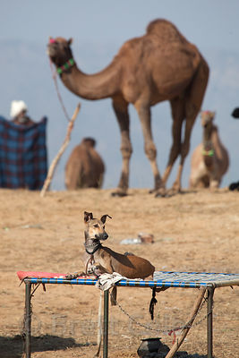 A dog sits on a cot with camels in the background, Pushkar, Rajasthan, India