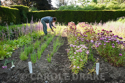 Aimee Kingdom cutting flowering stems of Acroclinium roseum Double Giant Flowered Mixed in the cutting garden at Cotehele, St Dominick, nr Saltash, Cornwall, UK
