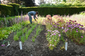 Aimee Kingdom cutting flowering stems of Acroclinium roseum Double Giant Flowered Mixed in the cutting garden at Cotehele, St...