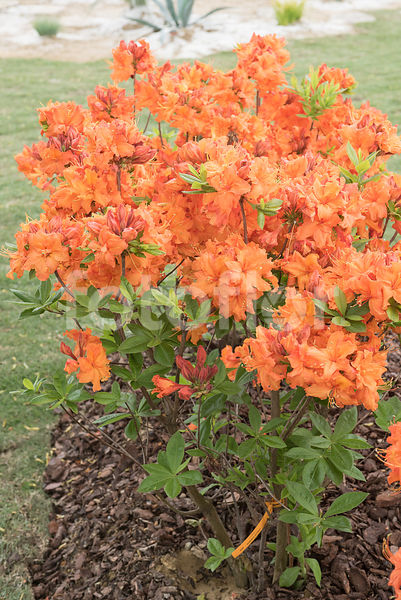 Rhododendron 'Apricot Surprise', azalée mollis, orange