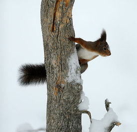 Ekorn, Red squirrel