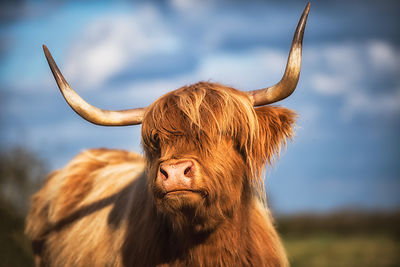 Ellie_The_Highland_Cow