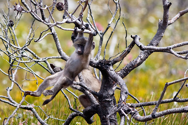 Baboons from the Plateau Road troop play in fynbos vegetation in Smitswinkel Flats, Cape Peninsula, South Africa