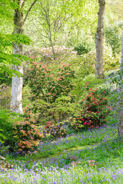 Pieris and rhododendrons rise from a carpet of bluebells and greater stitchwort amongst tall oaks in the Dell.