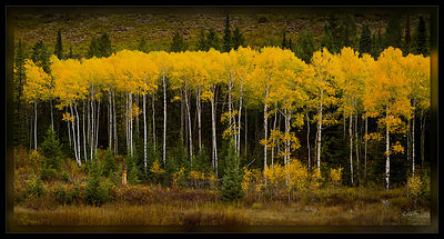 Pretty Aspens All In a Row