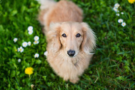 Tan Longhaired Dachshund Looking up from Grass