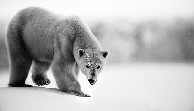 9902-Polar_bear_Baffin_Island_Canada_2016_Laurent_Baheux