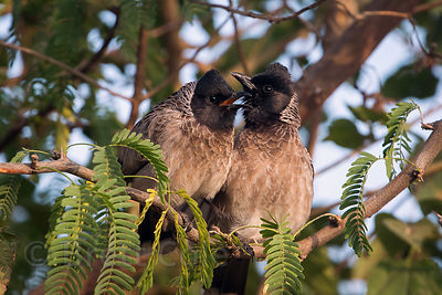 Unidentified songbirds, Surajkund village, Rajasthan, India