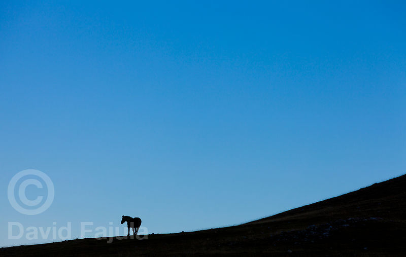 Silhouette of a lonely mare (Equus caballus) at sunrise