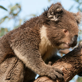 Koalas wildlife photos