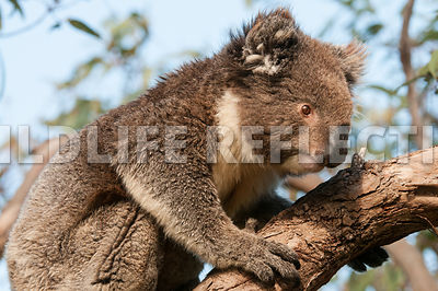 koala_walking_limb-1