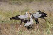 Secretarybird feeding its chicks, Sagittarius serpentarius, Kruger National Park, South Africa