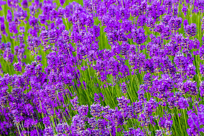 English lavender flowers