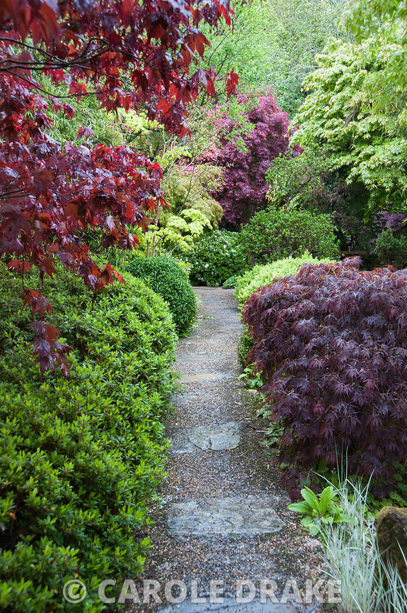 Stone and gravel path framed with acers, azaleas and clipped box. The Japanese Garden & Bonsai Nursery, St.Mawgan, nr Newquay, Cornwall