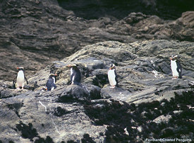 October - Fiordland Crested Penguins