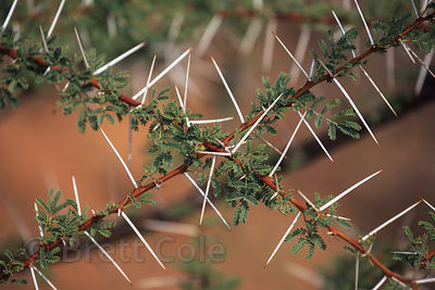 Acacia tree foliage and thorns, Pushkar, Rajasthan, India