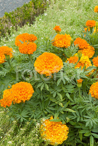 Tagetes erecta 'Taishan Orange Improved', rose d'inde, orange