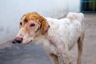 A stray dog with a severe head wound, recuperates at the Tree of Life for Animals rescue center in Pushkar, India. The yellow...