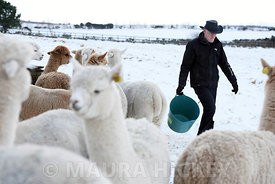 Joe Phelan of K2 Alpaca feeding his animals during Storm Emma.