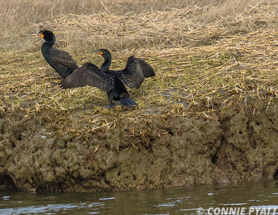 Cormorants, Edwin forsythe National Wildlife Refuge