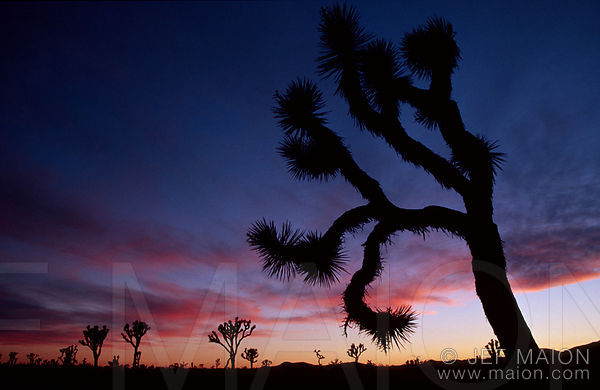 Joshua trees and pink clouds