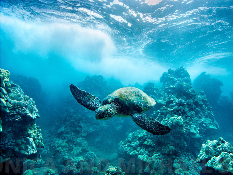 honu and the wave