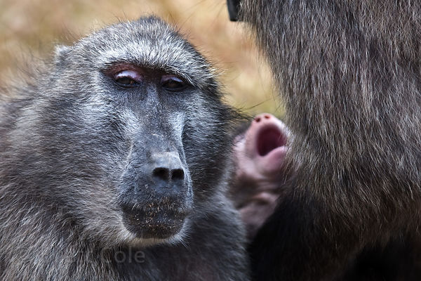 A chacma baboon from the Smitswinkel troop shows her pink eyelids, a sign of agitation, near Miller's Point, Cape Peninsula, ...