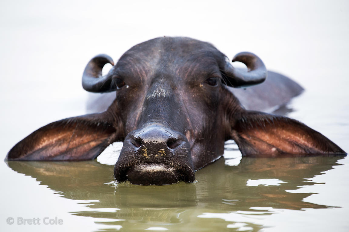 Portrait of a water buffalo bathing in the Ganges River, Varanasi, India