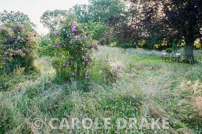 Mounds of Rosa 'Californica Plena' in the meadow with copper beech beyond. Westbrook House, West Bradley, Somerset, UK