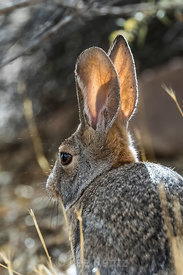 Desert Cottontail Rabbit in Cathedral Gorge State Park