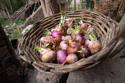 Organic onions in an organic basket in Basgo Village, Ladakh, India